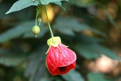 Czerwona żarówka Fotografia Royalty Free