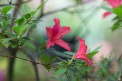 Czerwona azalia w ogródzie Obrazy Royalty Free