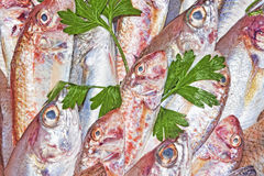 Czerwona barwena i śródziemnomorska ryba Obrazy Royalty Free