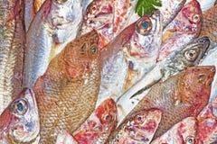 Czerwona barwena i śródziemnomorska ryba Zdjęcia Royalty Free
