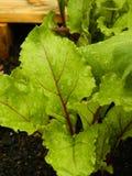 Czerwona Beetroot roślina, potomstwa obrazy royalty free