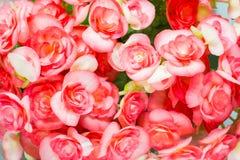 Czerwona begonia Fotografia Stock