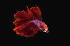 Czerwona beta ryba na czarnym tle Zdjęcie Stock