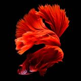 Czerwona Betta boju Syjamska ryba zdjęcie stock