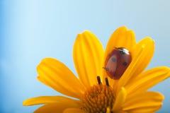 Czerwona biedronka dalej na żółtym kwiacie, ladybird skrada się na trzonie plan Zdjęcia Stock