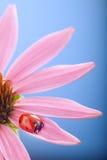 Czerwona biedronka na Echinacea kwiacie, ladybird skrada się na trzonie plan Fotografia Stock