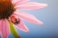 Czerwona biedronka na Echinacea kwiacie, ladybird skrada się na trzonie plan Zdjęcia Stock