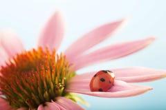 Czerwona biedronka na Echinacea kwiacie, ladybird skrada się na trzonie plan Obrazy Stock