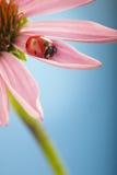 Czerwona biedronka na Echinacea kwiacie, ladybird skrada się na trzonie plan Zdjęcia Royalty Free