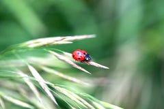 Czerwona biedronka na trawie Zdjęcie Royalty Free
