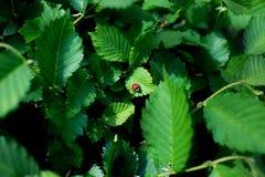 Czerwona biedronka na ?wie?ej zieleni opuszcza na zielonym tle obrazy royalty free