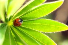 Czerwona biedronka na zielonym liściu, ladybird skrada się na trzonie roślina w s Zdjęcia Stock