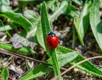 Czerwona biedronka na zielonym liściu, unfocused tło Obrazy Royalty Free