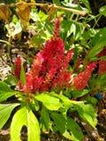 Czerwona celozi roślina fotografia royalty free