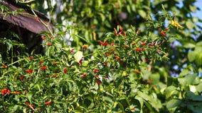 Czerwona chili pieprzu roślina Zdjęcia Stock