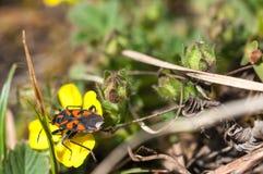Czerwona chinch pluskwa na wczesnej wiosny żółtym kwiacie Zdjęcie Stock