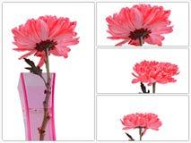 Czerwona chryzantema Kwitnie w wazowej kolekci Obrazy Stock
