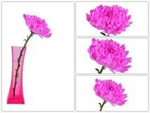 Czerwona chryzantema Kwitnie w wazowej kolekci Zdjęcie Stock