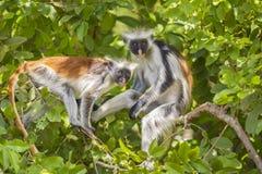 Czerwona Colobuse małpa fotografia stock