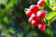 Czerwona cud owoc na drzewie z zielonymi liśćmi, odosobnionymi z zamazanym tłem zdjęcie stock