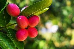 Czerwona cud owoc na drzewie z zielonymi liśćmi, odosobnionymi z zamazanym tłem zdjęcia stock