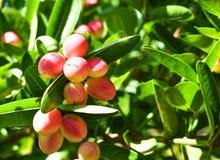 Czerwona cud owoc na drzewie z zielonymi liśćmi z zamazanym tłem, obrazy royalty free