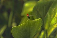 Czerwona czarna smok komarnica na zielonym liściu obraz stock