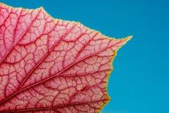 Czerwona czerwień Fotografia Stock