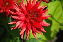 Czerwona Dalia. zdjęcie royalty free