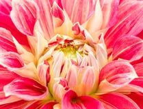 Czerwona dalia w kwiacie w ogródzie Fotografia Stock