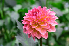 Czerwona dalia w kwiacie w ogródzie Zdjęcia Royalty Free