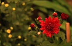 Czerwona dalia z zielonym zamazanym backround i few pączkami obraz royalty free