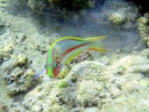 Czerwona denna ryba Zdjęcia Royalty Free