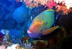 Czerwona denna ryba fotografia stock