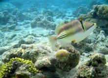 Czerwona denna ryba Picasso Zdjęcie Royalty Free
