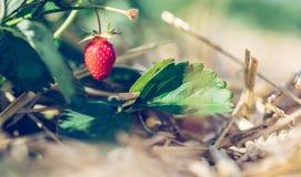 Czerwona dojrzała organicznie truskawka na rolnictwa polu zdjęcie stock
