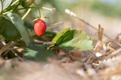 Czerwona dojrzała organicznie truskawka na rolnictwa polu zdjęcia royalty free