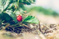 Czerwona dojrzała organicznie truskawka na rolnictwa polu obrazy royalty free