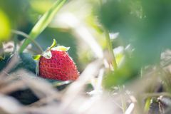 Czerwona dojrzała organicznie truskawka na rolnictwa polu obraz royalty free