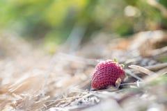 Czerwona dojrzała organicznie truskawka na rolnictwa polu obrazy stock