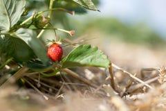 Czerwona dojrzała organicznie truskawka na rolnictwa polu zdjęcie royalty free