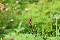 Czerwona dragonflies żerdź na suchych gałąź fotografia royalty free