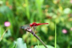 Czerwona dragonflies żerdź na suchych gałąź obraz royalty free