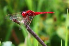 Czerwona dragonflies żerdź na suchych gałąź obrazy royalty free