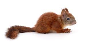 czerwona eurasian wiewiórka Zdjęcia Stock