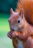 czerwona eurasian wiewiórka Obraz Stock