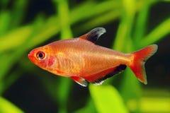 Czerwona Fikcyjna Tetra ryba Fotografia Royalty Free