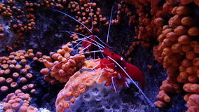 Czerwona garnela na rafie koralowa zdjęcie wideo