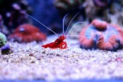 Czerwona garnela w Morskim akwarium Zdjęcie Stock
