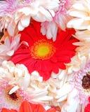 Czerwona gerber stokrotka między biel Zdjęcie Royalty Free